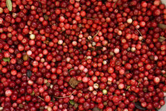 Red bilberries Stock Images
