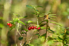 Red bilberries in the forest. Red bilberries on brunches with leaves in the green forest Stock Images