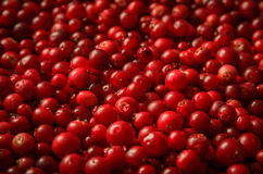 Red bilberries Stock Photography