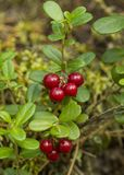 Red bilberries Royalty Free Stock Photo