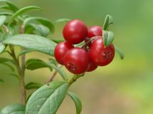 Red bilberry. (Vaccinium vitis-idaea) fruits royalty free stock images