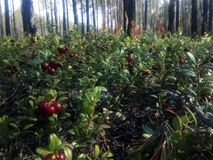 Red bilberry. A beautiful red bilberry berry grows in the forest in the autumn time stock photography