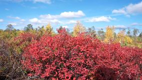 Red bilberry bush. Autumn landscape with red bilberry bush and juicy berries stock video footage