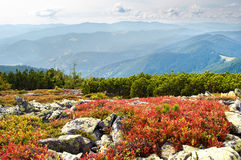 Red bilberry bushes among stones on the hill Stock Image