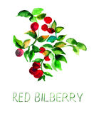 Red bilberry. With leaves, watercolor illustration Stock Image