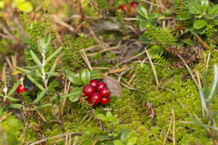 Red bilberry on the moss Stock Photo