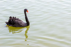 The red bill black swan Stock Images