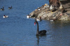 The red bill black swan. Royalty Free Stock Photos