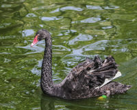 The red bill black swan on the water Stock Photos