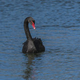 The red bill black swan on the water Stock Image