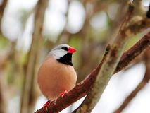 Red Bill Finch Bird Royalty Free Stock Images
