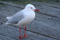 Red Bill Seagull Royalty Free Stock Photos