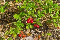 Red billberry Stock Photos