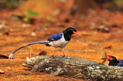 Red-billed Blue Magpie. Bird of Thailand background Stock Images