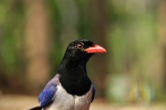 Red-billed blue magpie. Bird of Thailand background Royalty Free Stock Photo