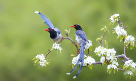 Red-billed Blue Magpie Stock Image