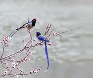 Red-billed Blue Magpie Stock Images