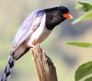 Red Billed Blue Magpie Stock Images