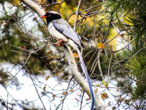 Red-billed Blue Magpie, bird royalty free stock photography