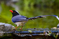 Red-billed Blue Magpie. Bird drinking at the waters edge Royalty Free Stock Photography