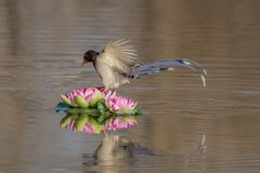 Red - billed blue magpie royalty free stock photo