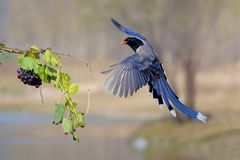 Red-billed Blue Magpie royalty free stock photos