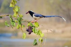Red-billed Blue Magpie stock photography