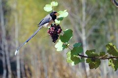 Red-billed Blue Magpie royalty free stock photography