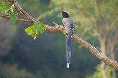 Red-billed Blue Magpie. The Red-billed Blue Magpie stands on trunk. Scientific name: Urocissa erythrorhyncha stock photo