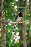 Red billed blue magpie is standing in branch of tree Stock Image