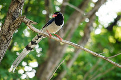 Red billed blue magpie is standing in branch of tree Royalty Free Stock Photos