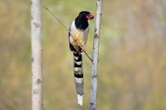 Red-billed Blue Magpie stock photo