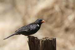 Red-billed Buffalo-Weaver in Kruger National park royalty free stock photography