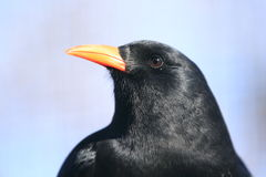 Red-billed chough Stock Photo