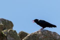 Closeup picture of a Red-billed chough, Pyrrhocorax pyrrhocorax royalty free stock photo
