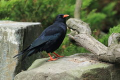 Red-billed chough Stock Photos