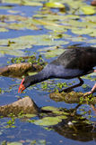Red Billed Coot Stock Photos