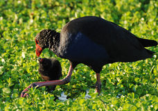 Red Billed Coot Moorhen Feeding her baby chick Royalty Free Stock Photo