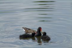 Red billed duck feeding her young. In a beautiful park in Paris Royalty Free Stock Photos