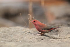 Red-billed Firefinch. The red-billed firefinch in the soil royalty free stock images
