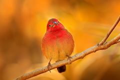 Red-billed firefinch Lagonosticta senegala sitting on the branch in nature habitat. Red bird from, Botswana, Africa. Wild nature stock image