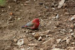 Red-billed Firefinch Stock Photos