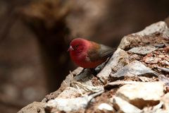 Red-billed Firefinch Royalty Free Stock Image