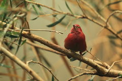 Red-billed firefinch Royalty Free Stock Photography