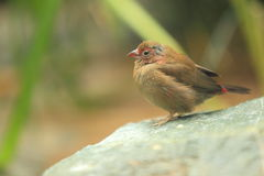Red-billed firefinch Royalty Free Stock Photo