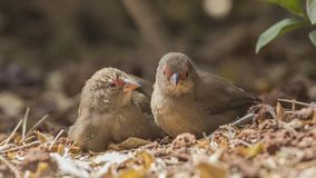 Red-billed Firefinches on Ground. Two Red-billed firefinches, Lagonosticta senegala, are playing on ground in Ethiopia, Africa royalty free stock image