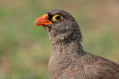 Red-billed francolin Stock Photo