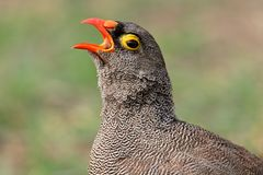 Red-billed francolin Royalty Free Stock Image