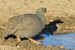 Red-billed Francolin - Wild Bird Background from Africa - Nature's Color Stock Photography