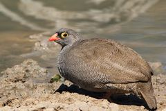 Red-billed Francolin - Wild Birds from Africa - Sad face Stock Images
